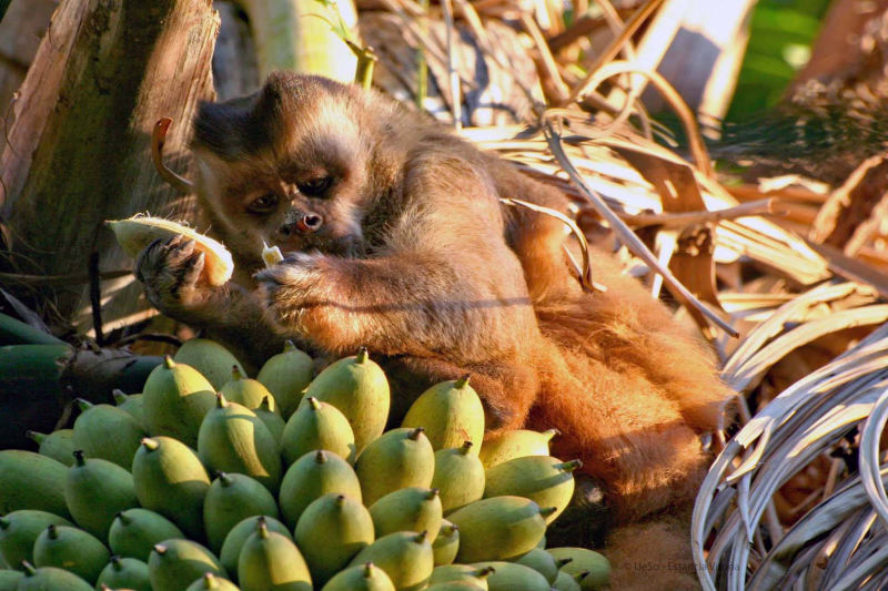 Capuchin monkey eats bananas