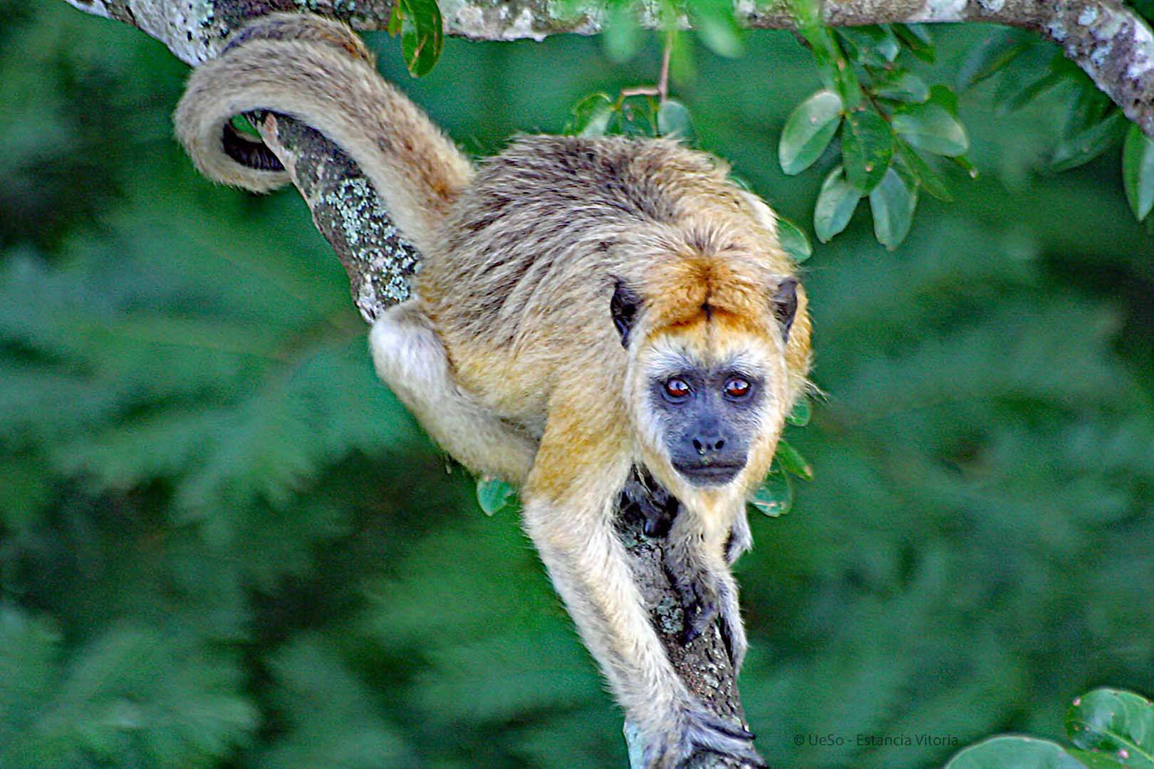 Howler monkey female