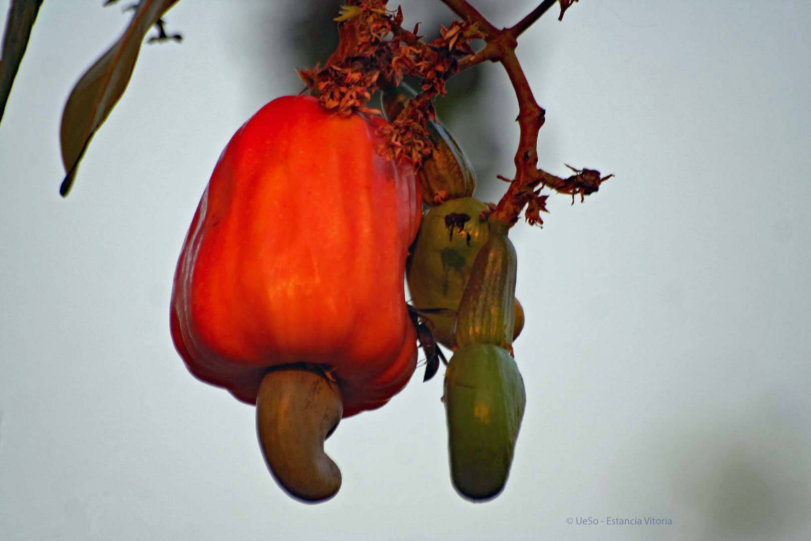 Cashew, fruit with nuts