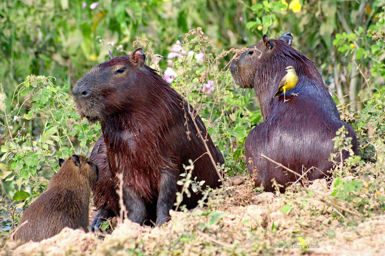 Capybara at the river bank