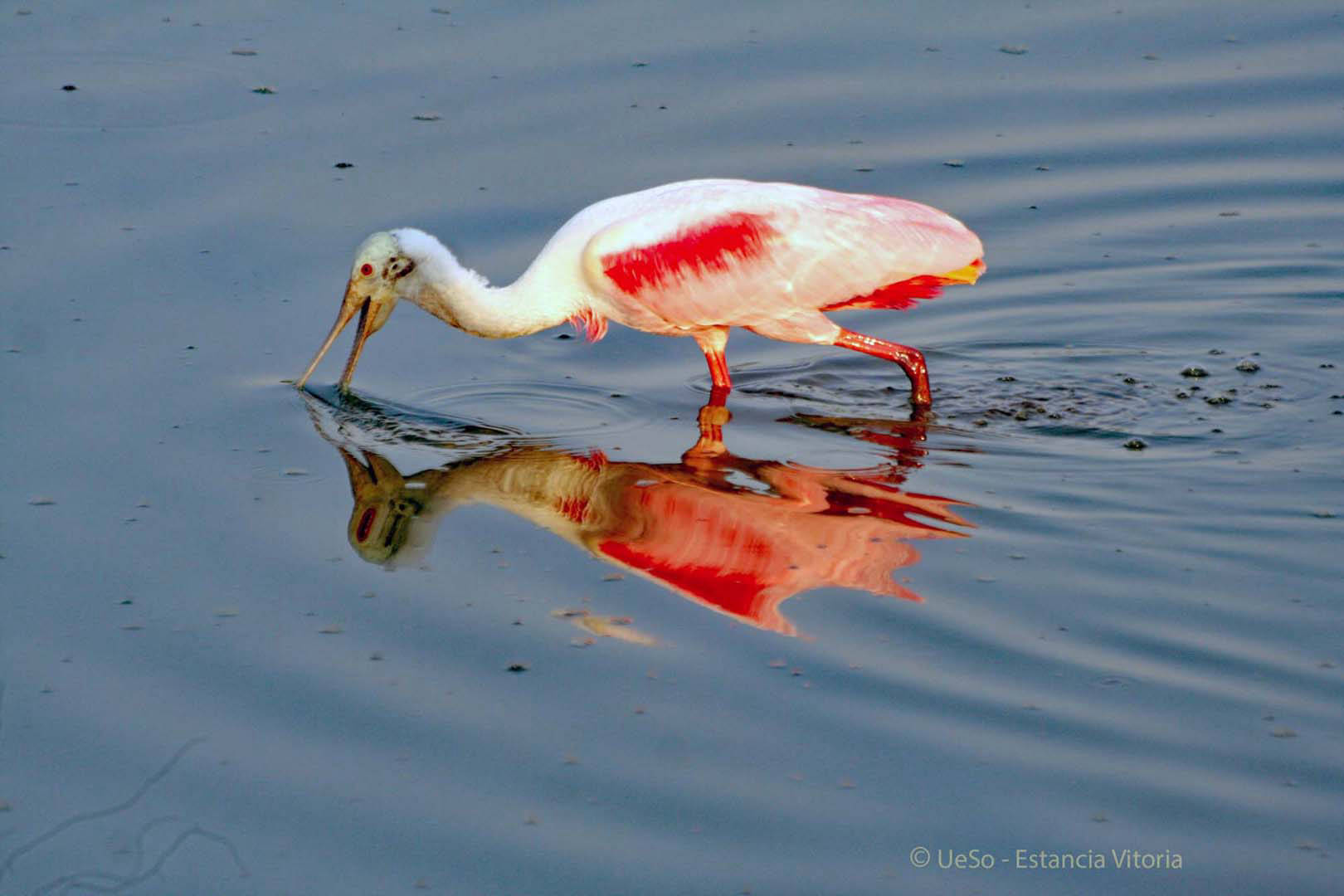 The Roseate Spoonbill looks for fish