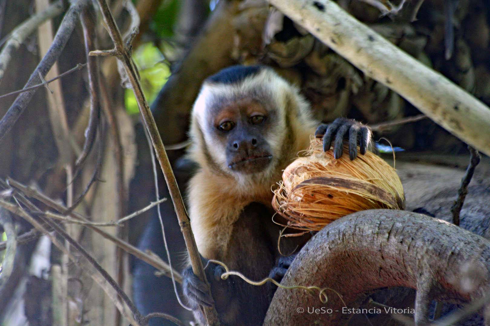 Capuchin monkey with nut
