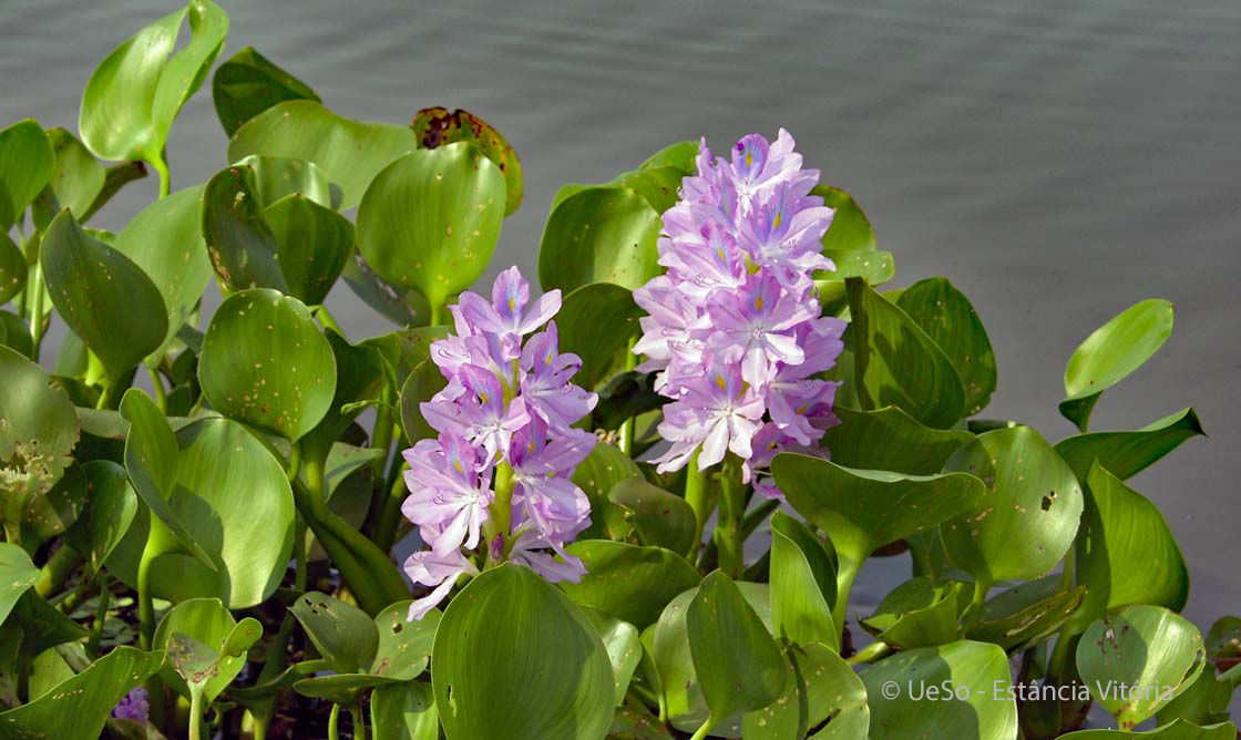 Common water hyacinth, Eichhornia Crassipes