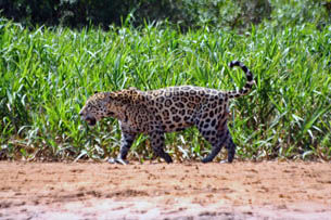 Tour 10 - Pantanal - Jaguar-Tour