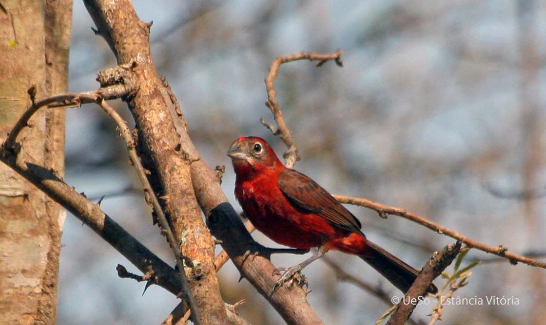 Red pileated finch, Red-crested finch, Coryphospingus cucullatus