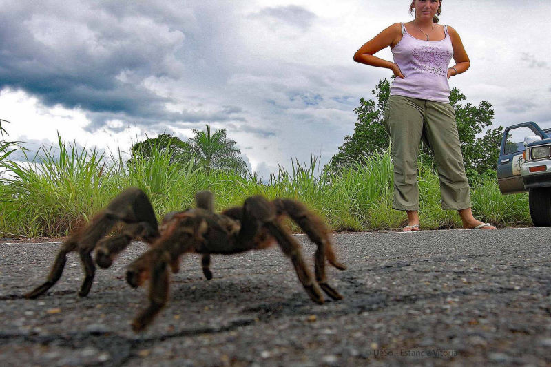 Tarantula in the cerado near Cuiabá