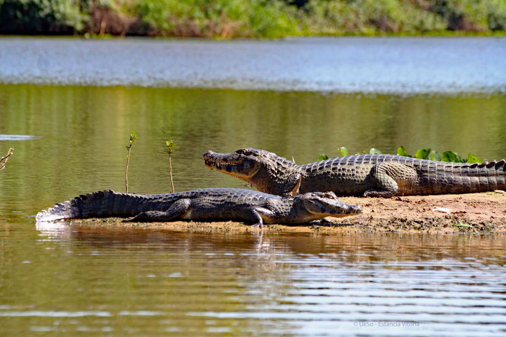 Caimans at the river