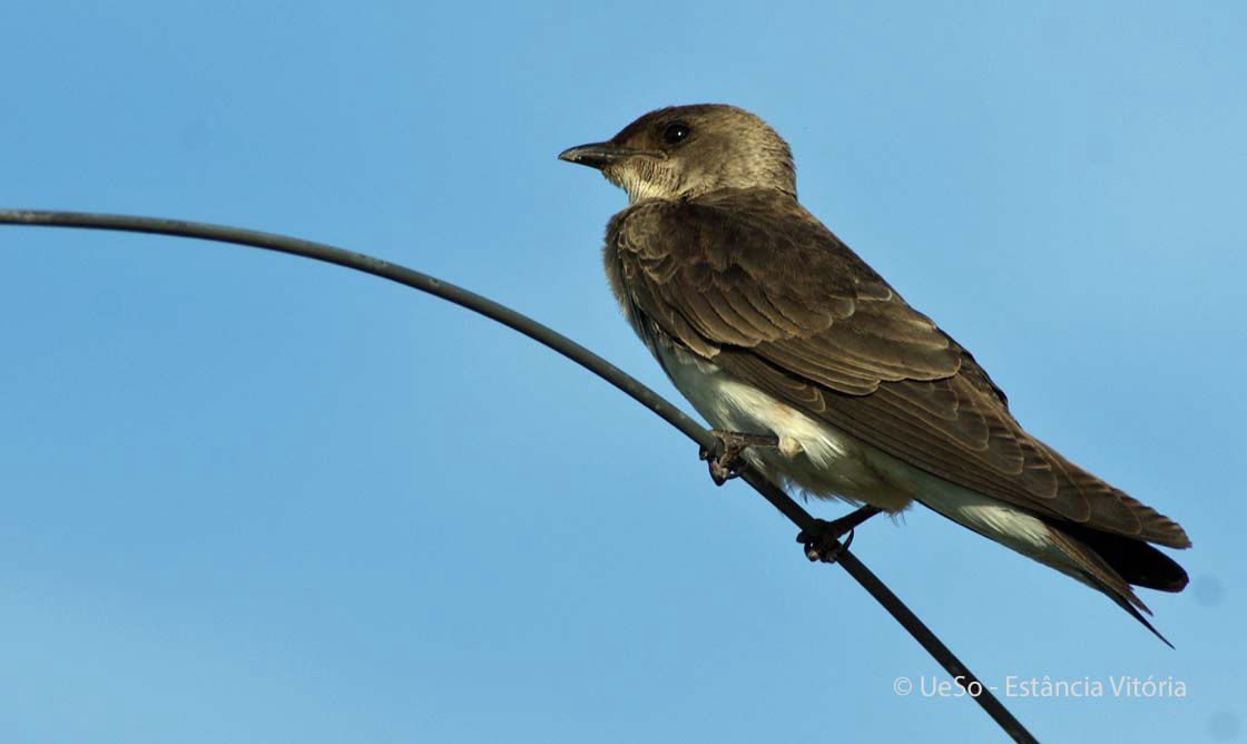 Southern rough-winged swallow, Stelgidopteryx ruficollis